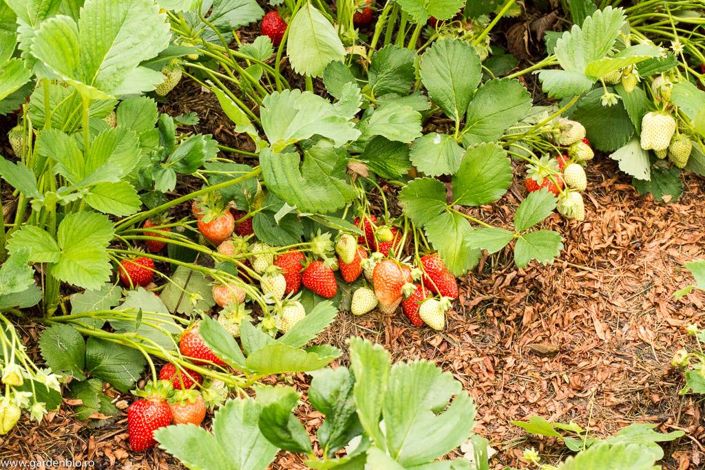 Recoltă bogată de căpșuni