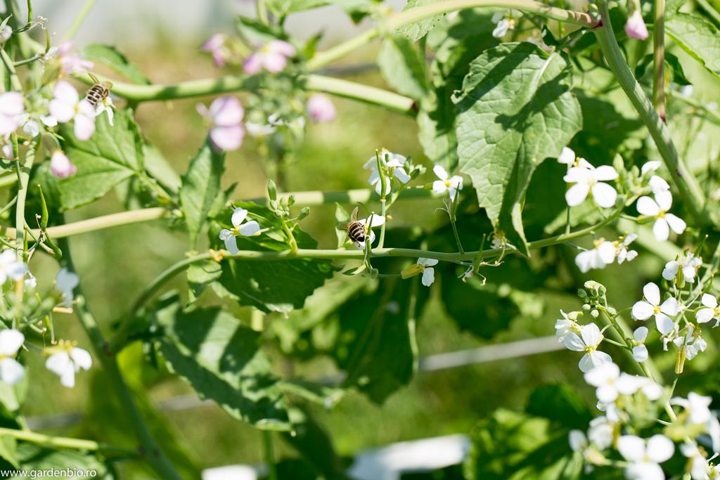 Albinele polenizeaza florile de ridichi China Rose (pentru seminte)