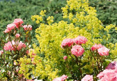 Crețișoara – o plantă deosebită