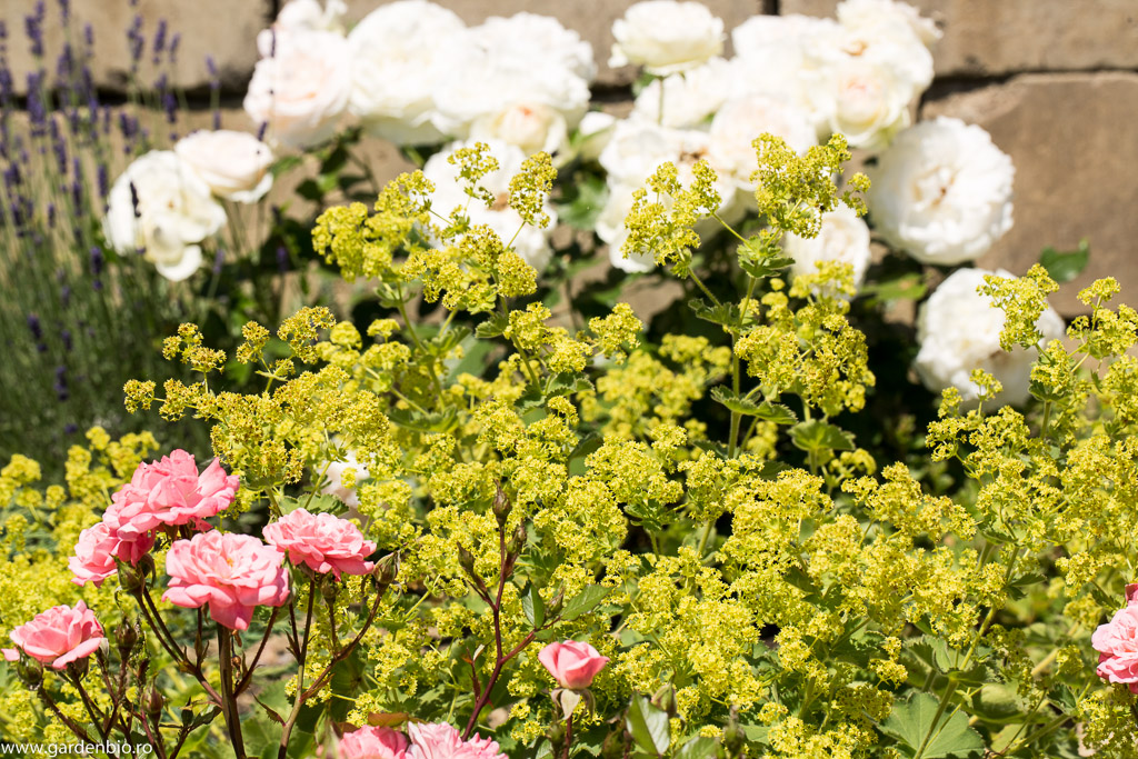 Cretisoara si trandafiri albi Leonardo da Vinci