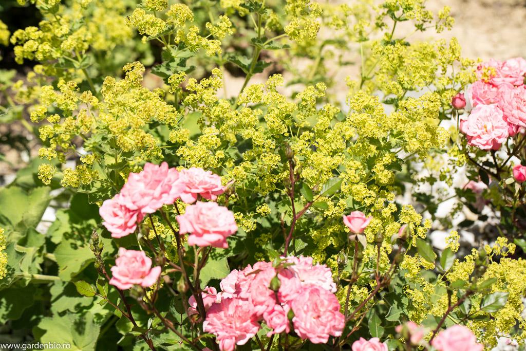 Cretisoara inflorita de culoare galben verzui in compania trandafirilor roz - o combinatie reusita