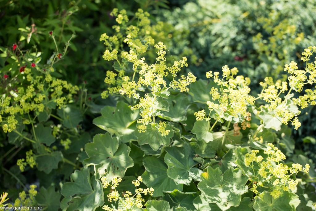 Cretisoara - Alchemilla mollis