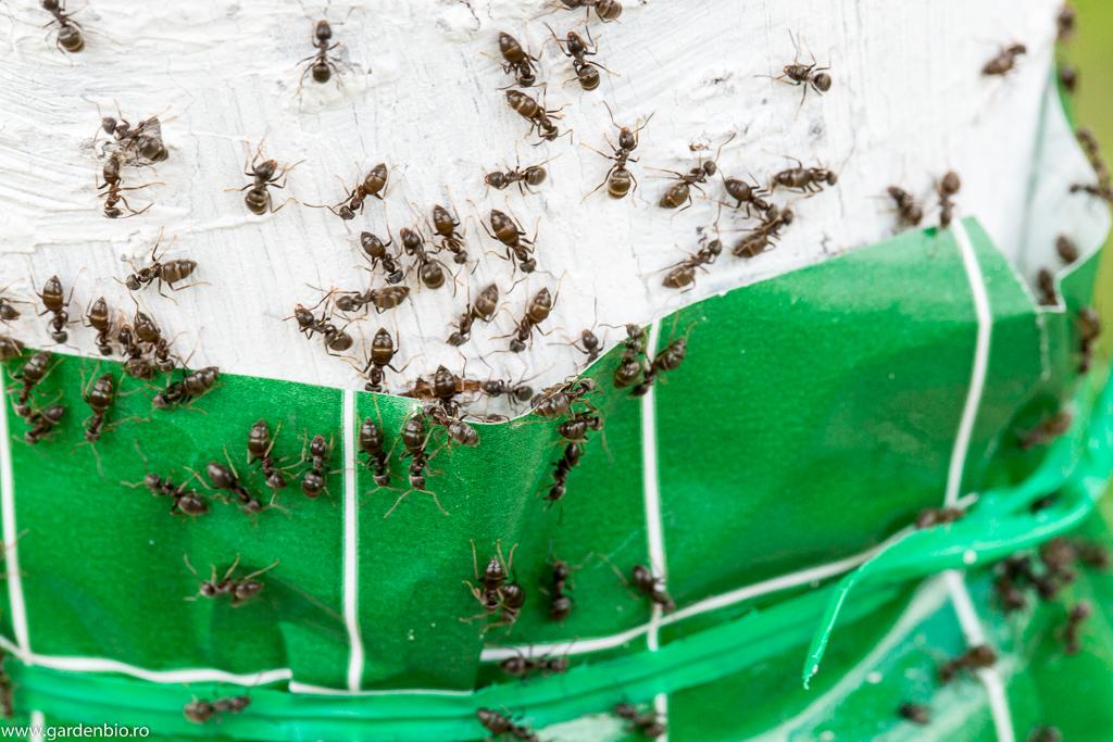 Unele furnici se întorc din drum, iar altele rămân captive pe banda adezivă