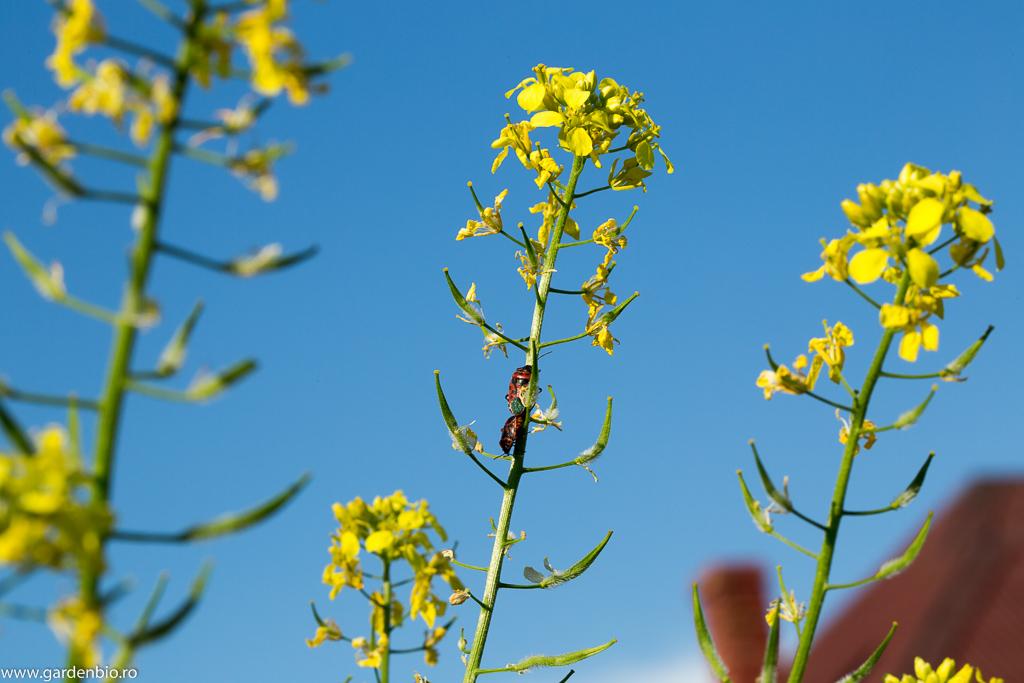 Muștar înflorit și primele silicve cu semințe