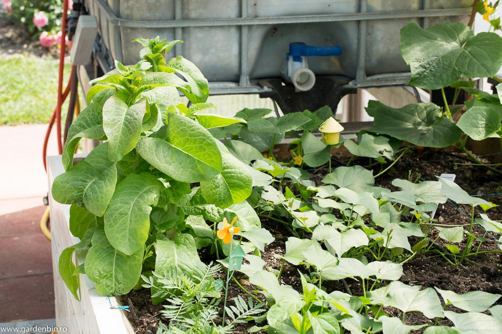 Lăstarii cu rădăcini se plantează în strat sau dacă temperaturile sunt scăzute se pun în ghivece și se țin în casă la fereastră, seră, solar, până când temperaturile nocturne nu scad sub 10 grade Celsius