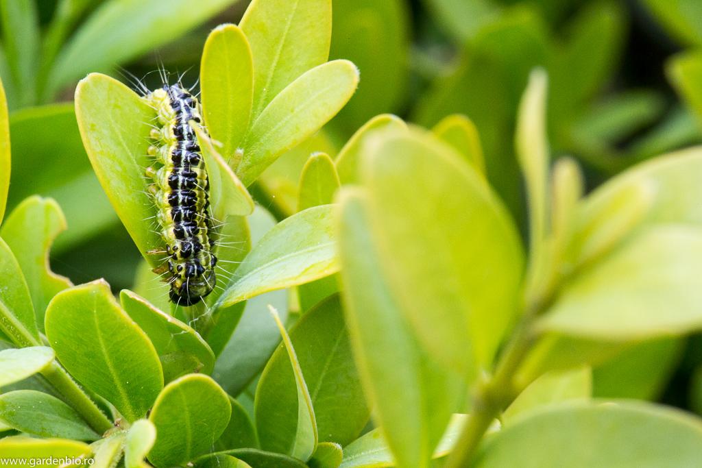 Omida paroasa a buxusului (Cydalima perspectalis)