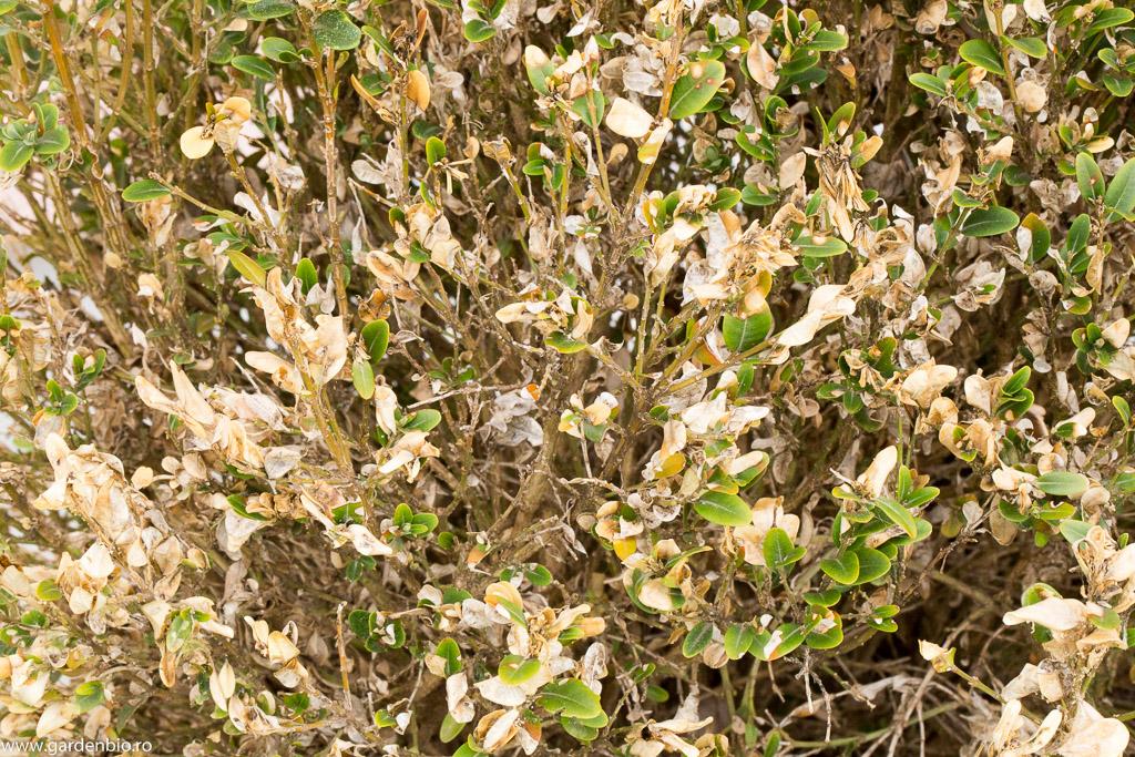 Buxus distrus de omida paroasa