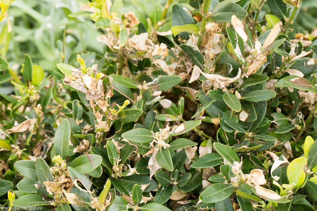 Buxus atacat de omida paroasa