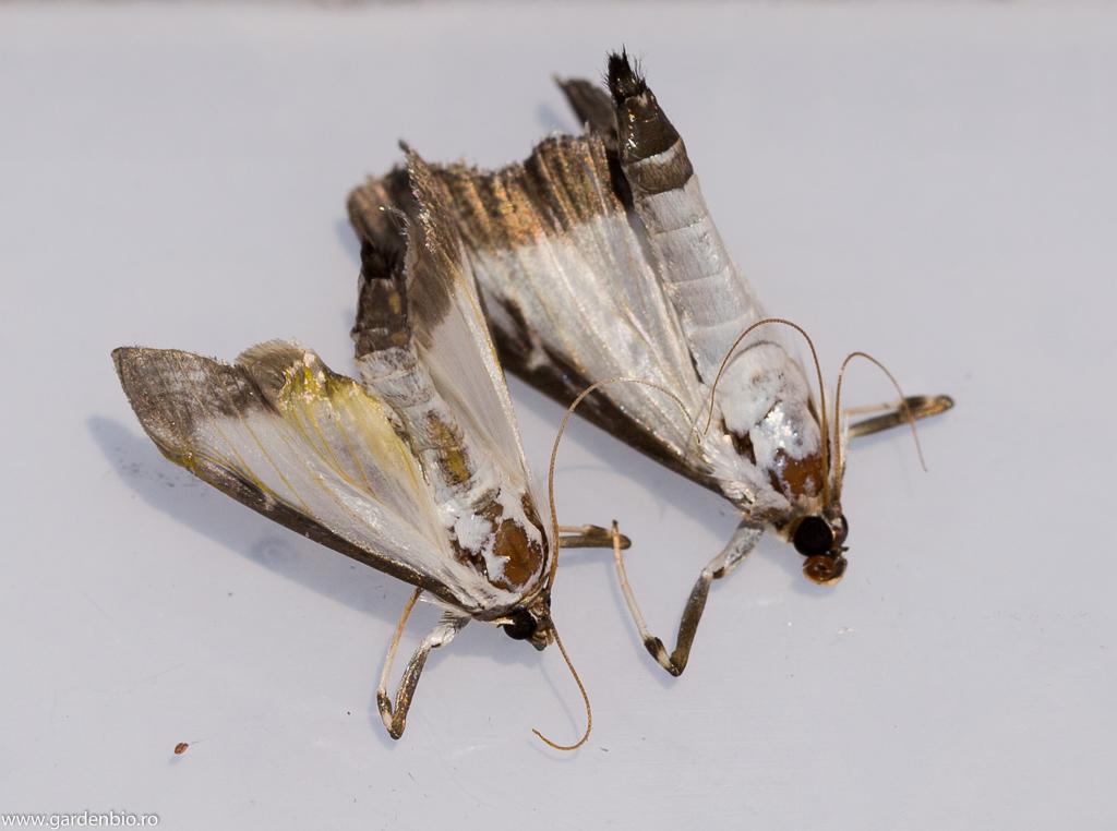 Fluturi de omida paroasa a buxusului (Cydalima perspectalis)