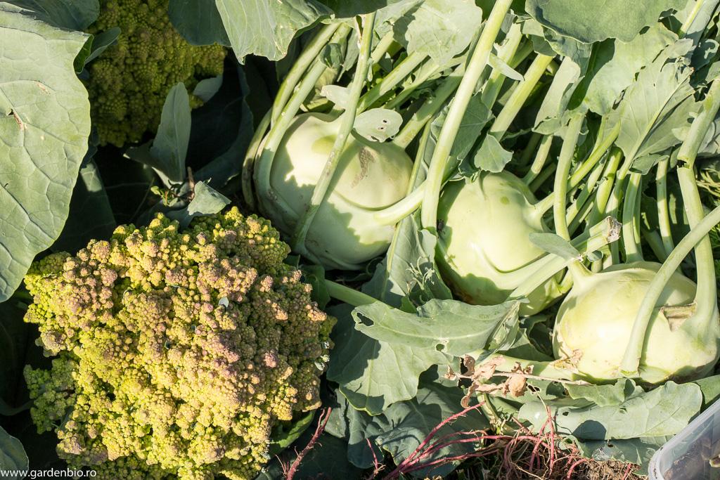 Recoltă de broccoli Romanesco și gulii Noriko din semințele obținute de mine