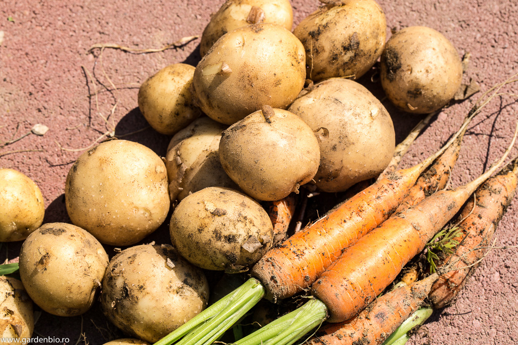Primii cartofi timpurii si morcovi Berlicum din sera