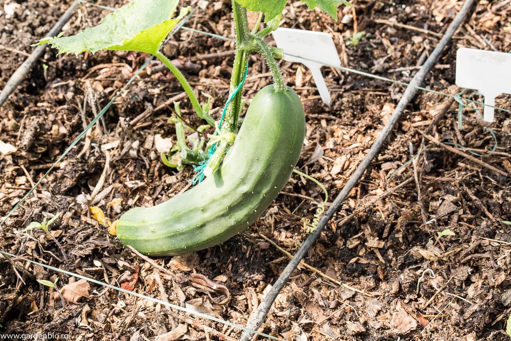 Primul castravete in sera, pentru seminte