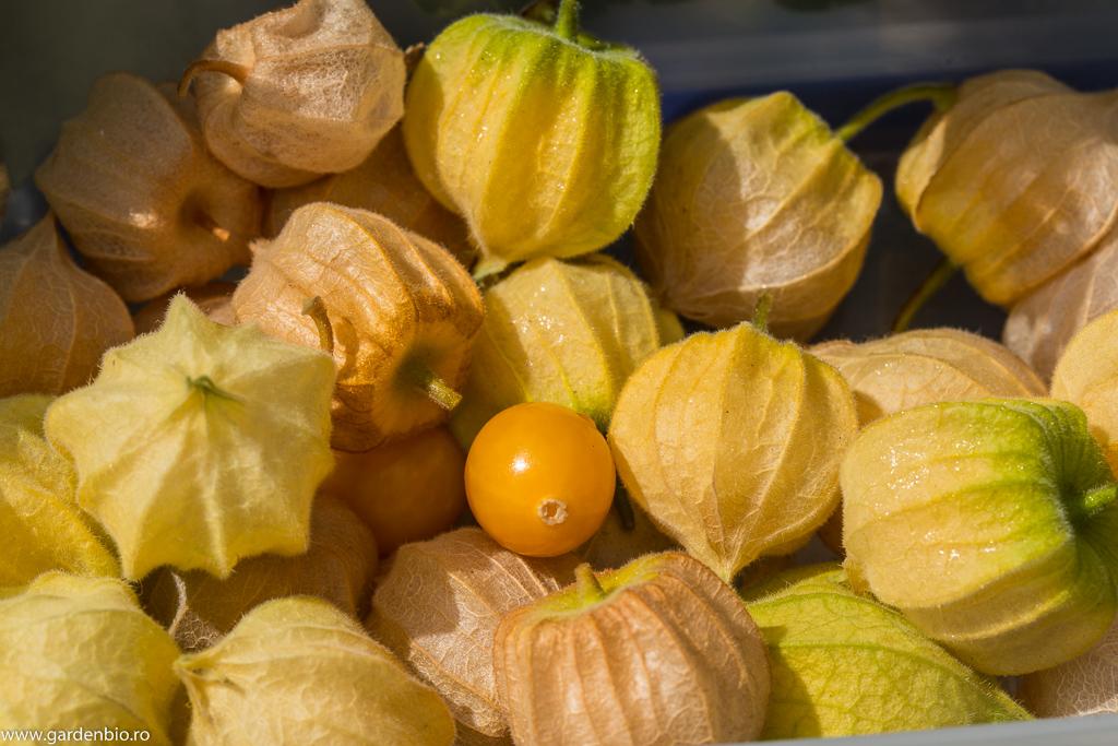 Recolta de fructe Physalis peruviana
