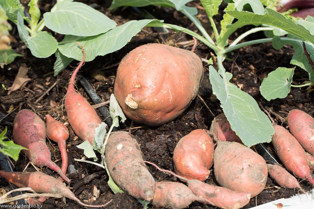Cartofi dulci - se distinge un exemplar f. mare crescut în seră