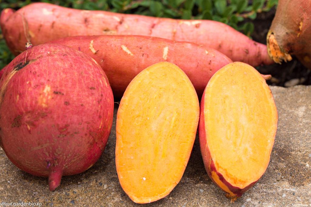 Cartofi dulci soiul Carolina Ruby