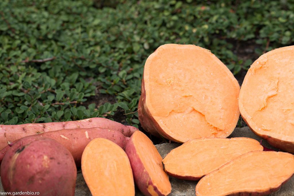 Recoltă de cartofi dulci, soiul Beauregard