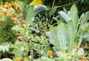 Kale – o plantă uşor de cultivat