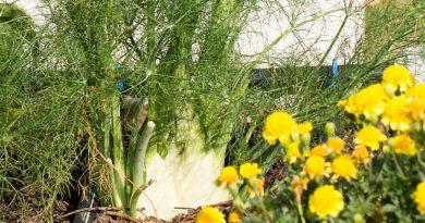 Feniculul de Florența – plantare și îngrijire