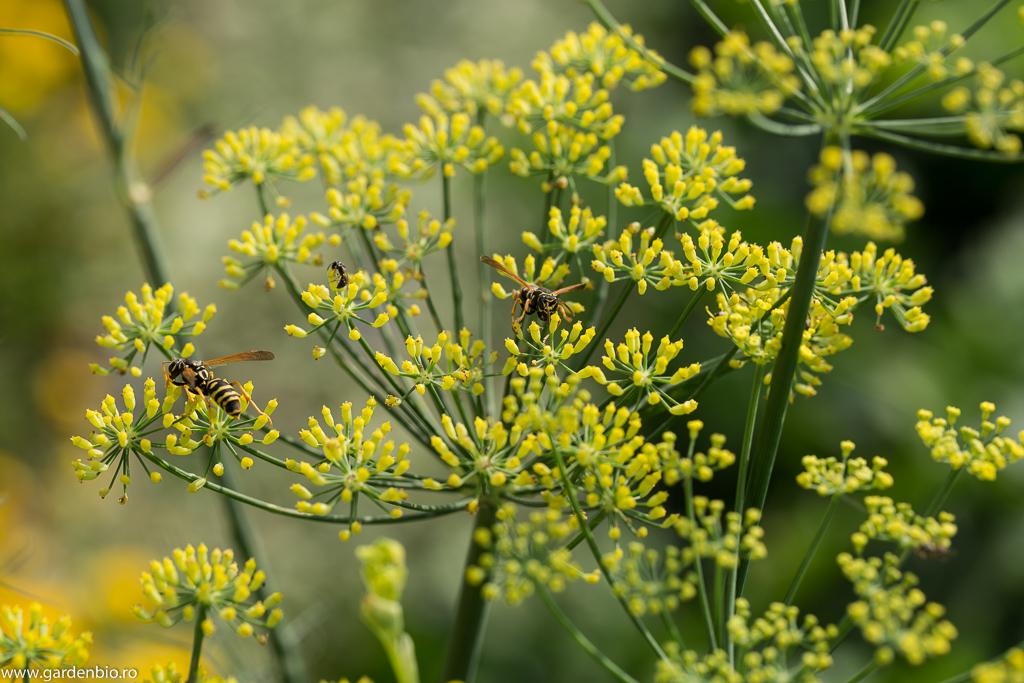 Fenicul înflorit - un punct de atracție pentru viespi