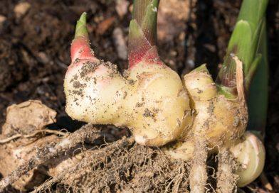 Cum să cultivați ghimbirul în grădină