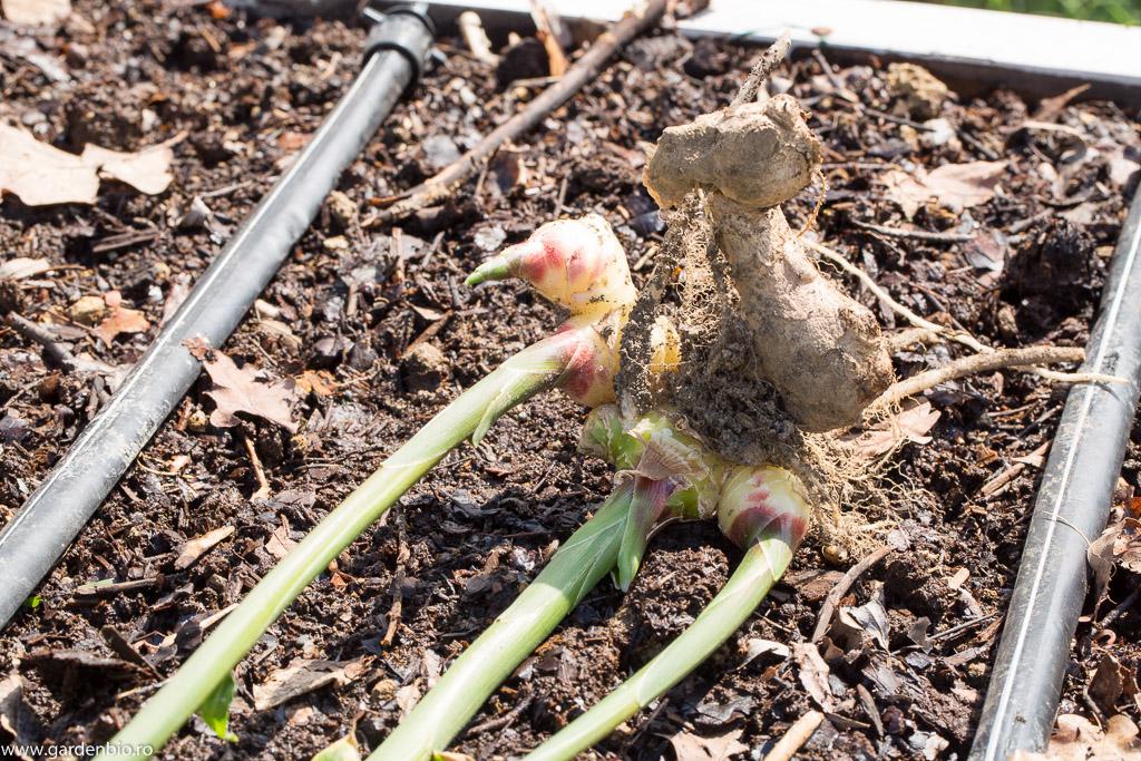 Alături de rizomul plantat au crescut rizomi noi