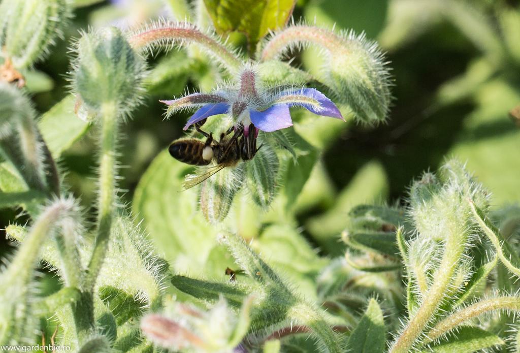 Limba mielului (Borago officinalis) - atrage foarte multe albine în grădină
