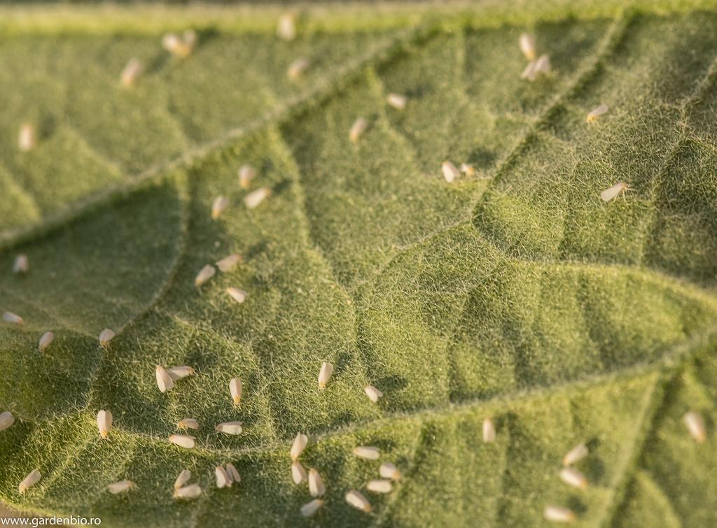 Musculițe albe de seră pe frunză de vinete