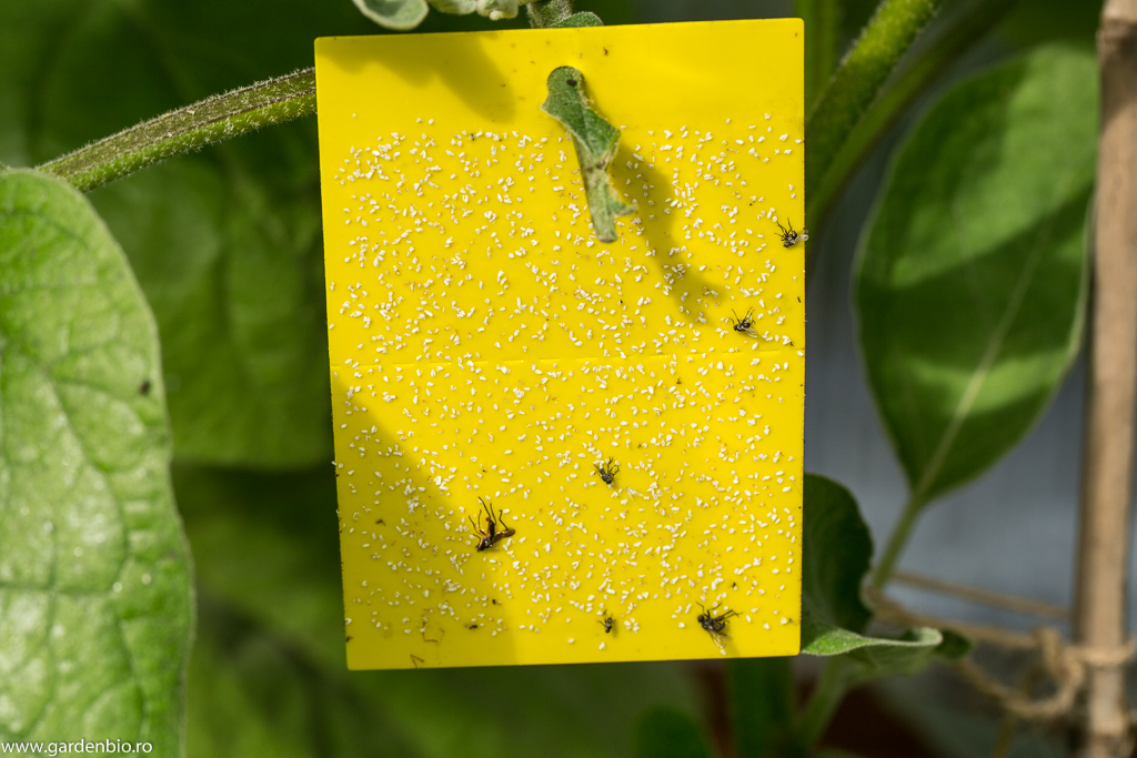 Capcană galbenă cu lipici - punct de atracție irezistibil pentru musculițele albe de seră