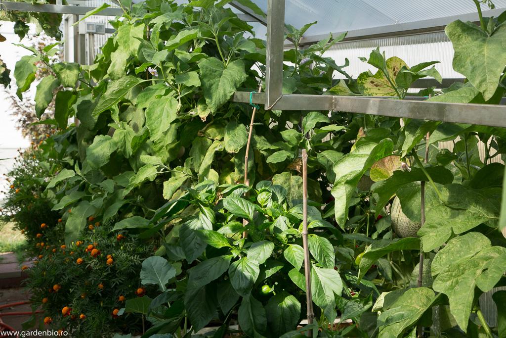 Stratul cu vinetele din seră dupa 2 luni de la plantare
