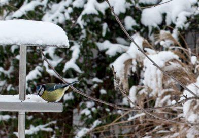 Hrănirea păsările din grădină pe timpul iernii