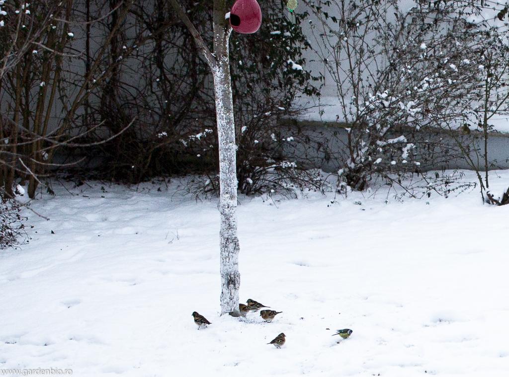 Cinteze iarna prin grădină