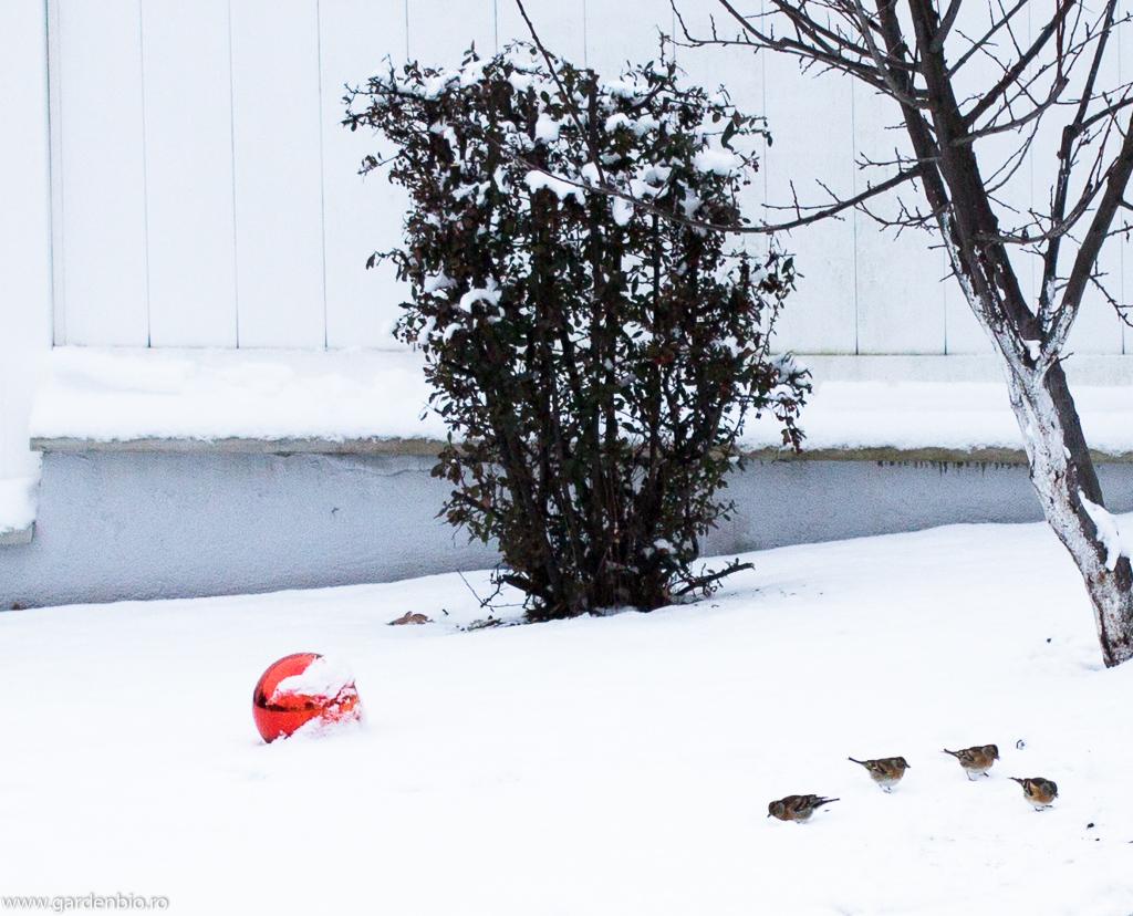 Cinteze caută semințe prin zăpadă