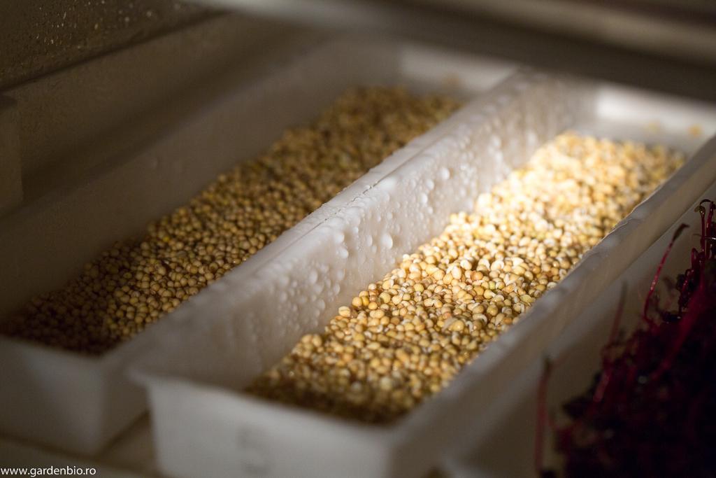 Semințe de muștar încolțite