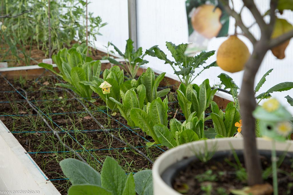 Stratul cu salata Navarra, conopidă Purple Cape și ceapă Rijnsburger pentru arpagic