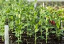 Răsadurile – de la sămânţă la plantarea în grădină