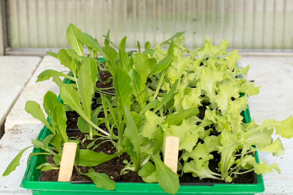 Răsaduri salată