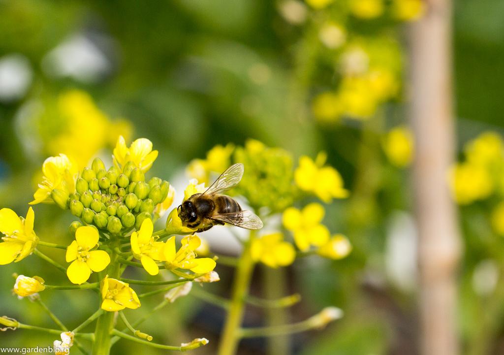 Albină la florile de pack choi