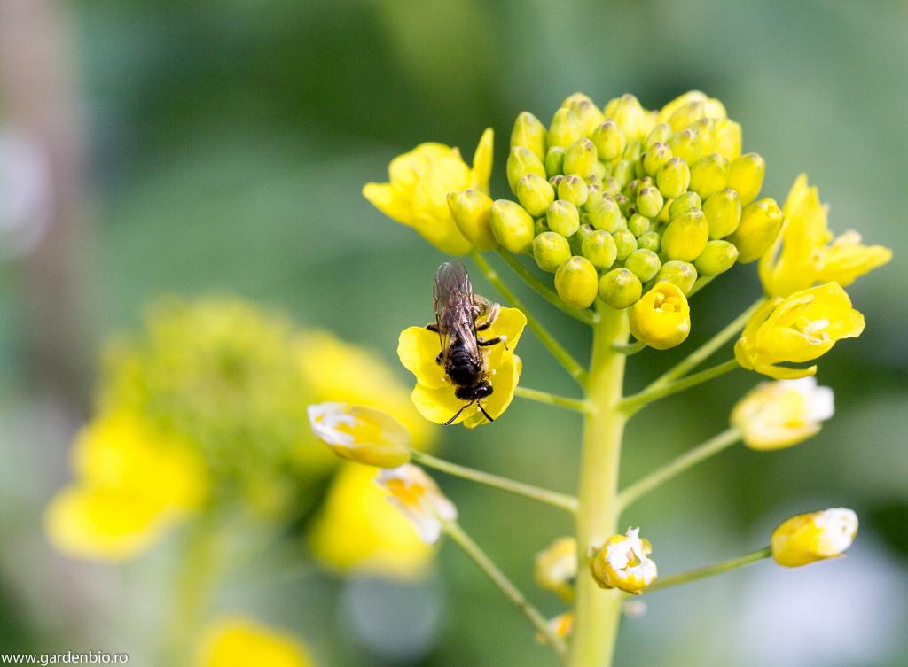 Polenizatori (albina salbatică) atrași de florile de pack choi