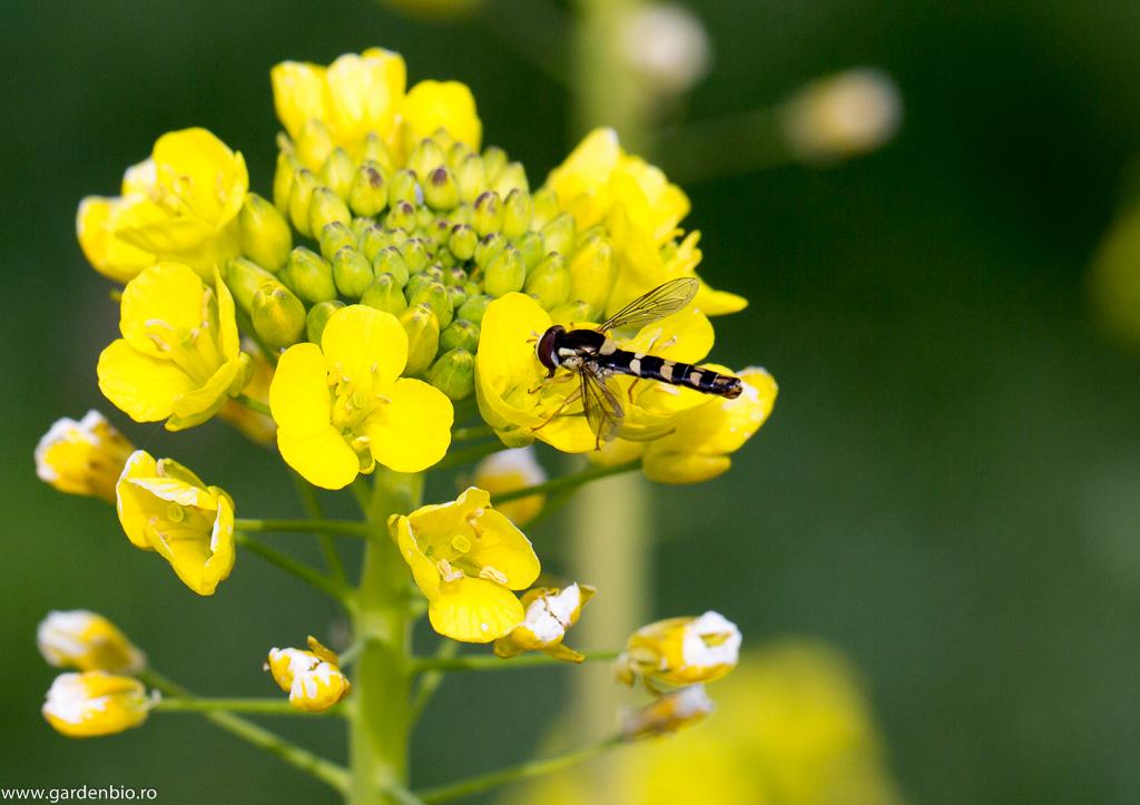 Albină sălbatică la florile de pack choi