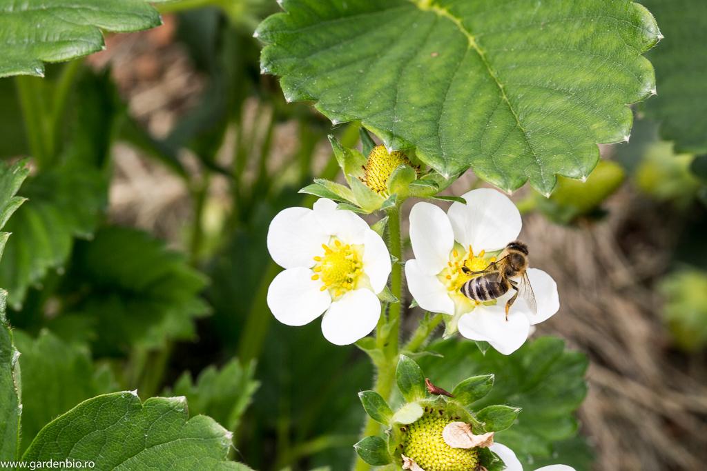 Albina polenizează florile de căpșuni