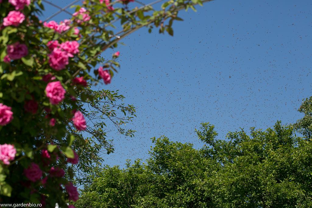 Roirea albinelor - un spectacol fascinant al naturii