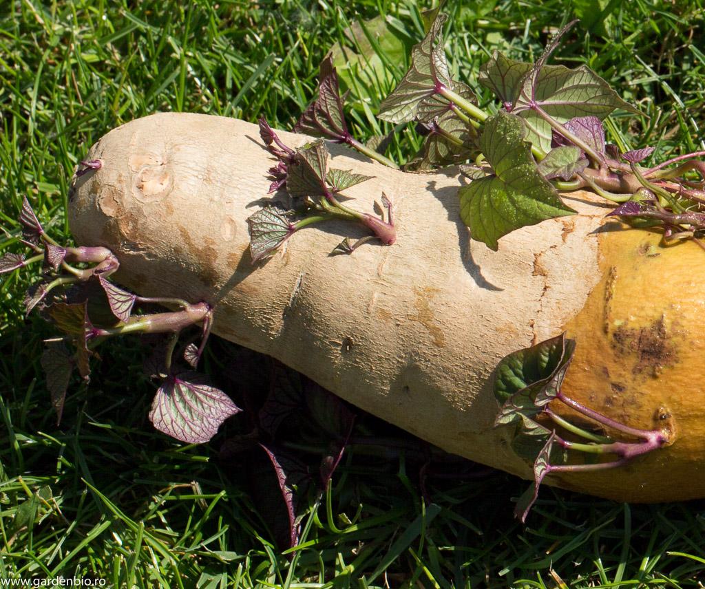 Lăstari de cartofi dulci