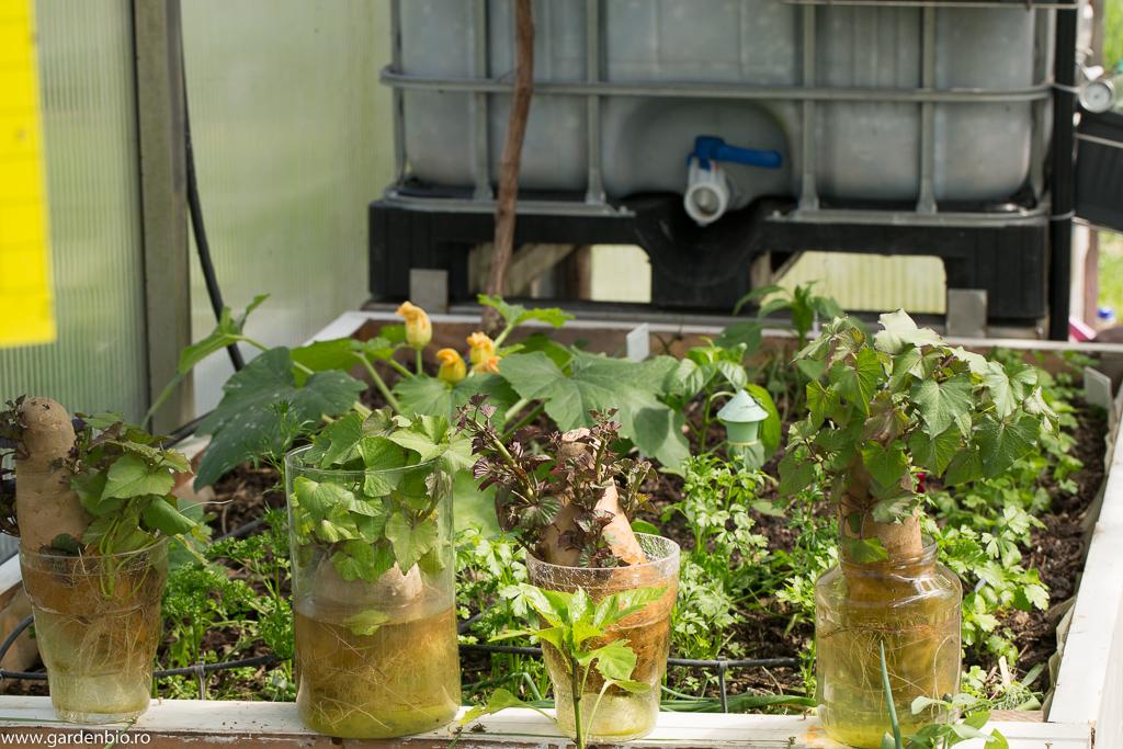 Cartofi dulci în recipiente de sticlă cu apă, pentru lăstari