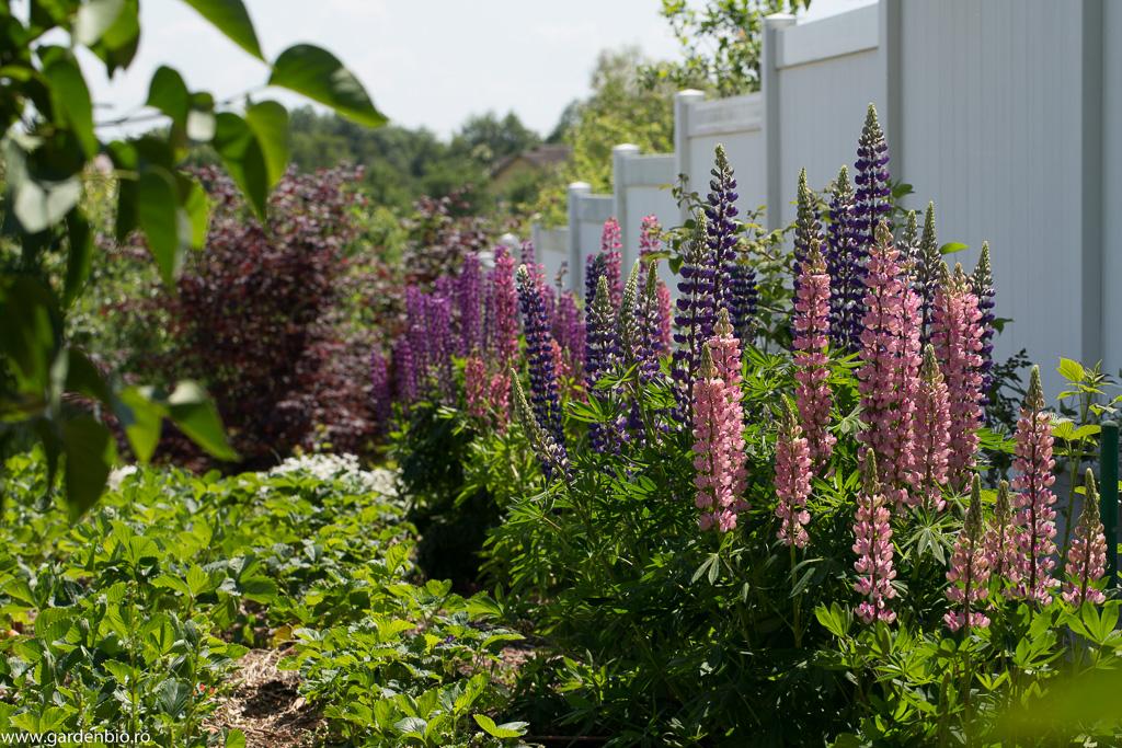 Lupinul prin nuanțele de culori și înflorirea spectaculoasă este un punct de atracție deosebit în grădină