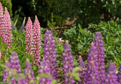 Lupinul – o plantă deosebită ce merită un loc special în grădină