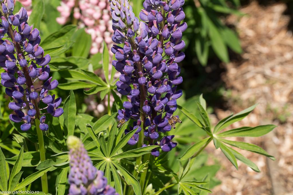 Lupinul - plantă meliferă cercetată intens de albine