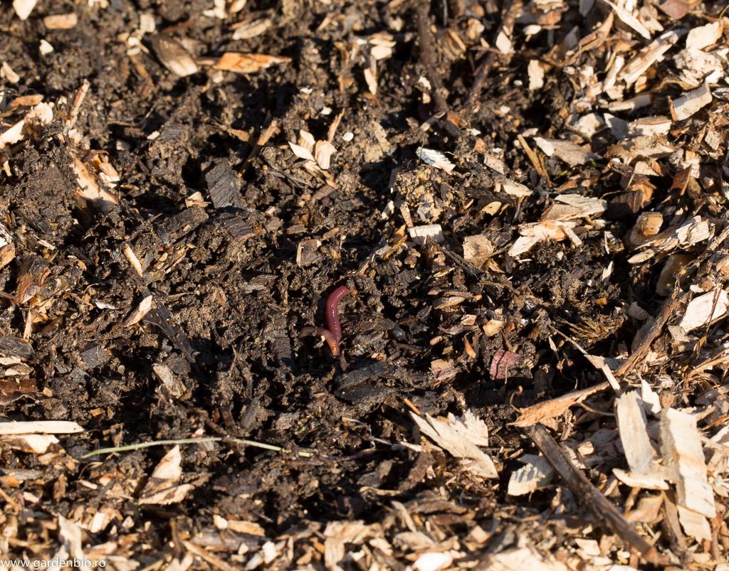 Râmele au rolul cel mai important în transformarea mulciului în compost