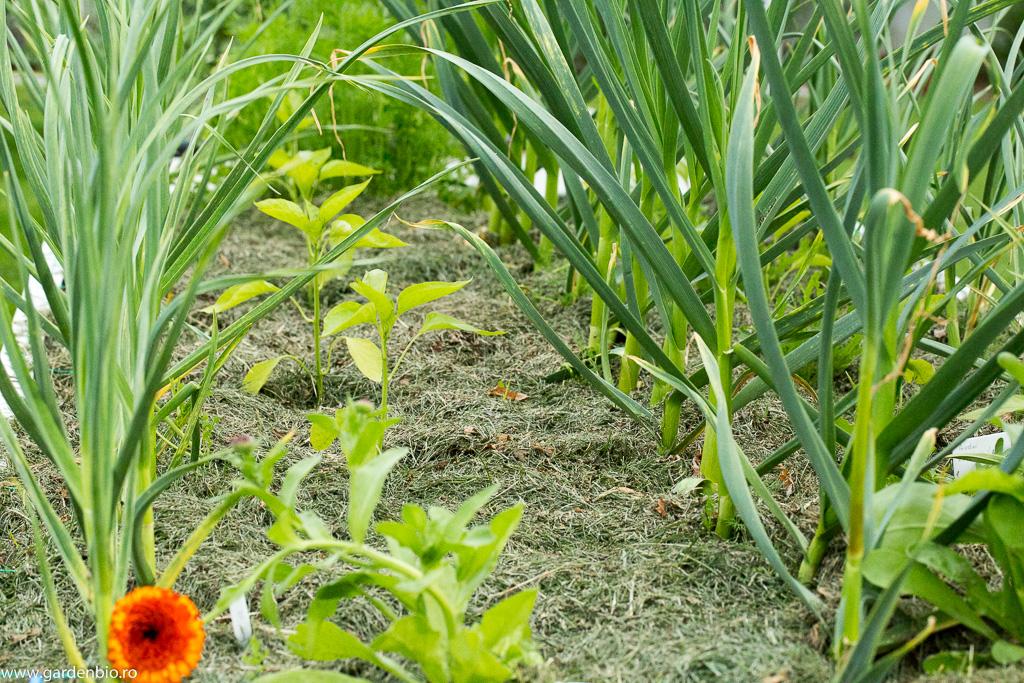 Mulci din iarbă în stratul cu usturoi și ardei