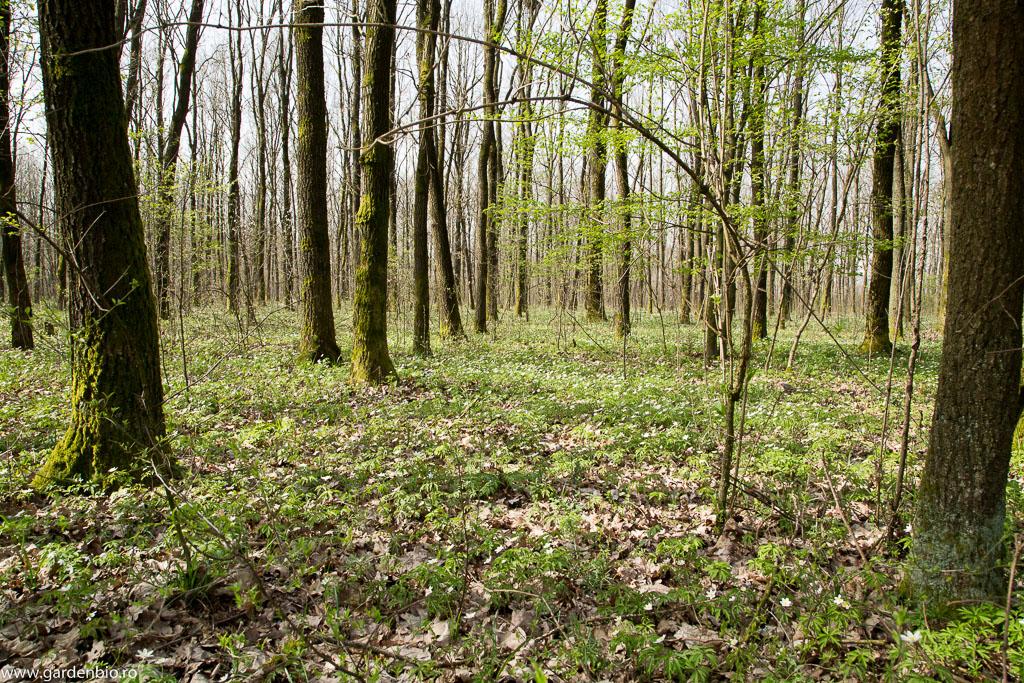 Solul din pădure pentru grădină - prezența anemonelor de pădure indică un sol fertil