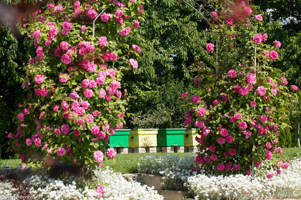 Stupii de albine din gradina, pe langa miere si polen, asigura polenizarea plantelor in gradina ecologica, astfel fructele si legumele sunt mai sanatoase si viguroase